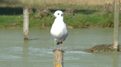 Black headed gull standing on a post, Bushy Park, London Stock Footage