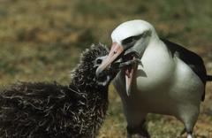 Laysan Albatross (Phoebastria immutabilis) feeding nestling Stock Photos