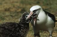 Stock Photo of Laysan Albatross (Phoebastria immutabilis) feeding nestling
