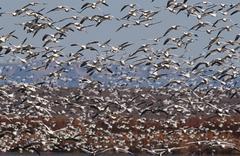 Flock of Snow Geese (Chen carelessness) in flight Stock Photos