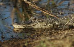 Alligator (Alligator mississippiensis) in swamp Stock Photos