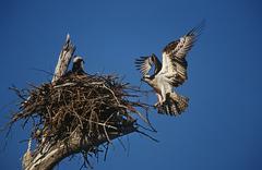 Adult Osprey (Pandion haliaetus) returning to nest with nestling Stock Photos
