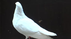 White Pigeon close up - stock footage