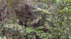 Descending rapidly to the forest floor of montane rainforest on the Pacific slop Stock Footage