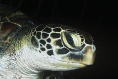 Green turtle close-up of head - stock photo