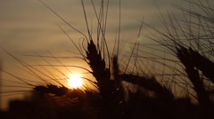 Wheat Sunset Silhouette HD Stock Footage
