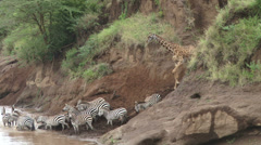 giraffes trying to cross river with zebras - stock footage