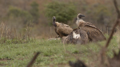 Four Cape Vultures sitting cleaning themselves Stock Footage