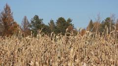 Corn field 03 Stock Footage