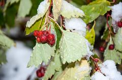 hawthorn berries and the first abnormal snow - stock photo