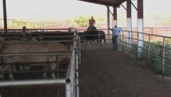Cattle herded into stock pens Stock Footage