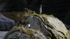 Birds on Rocks in Chilkoot River Stock Footage