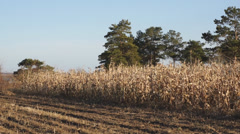 Corn field 15 Stock Footage