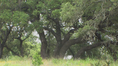 Live oak trees 2 - stock footage