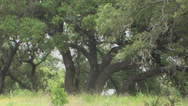 Stock Video Footage of Live oak trees 2