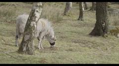 Wild Sheep Eats Grass Stock Footage