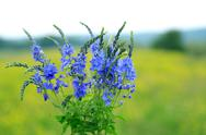 Stock Photo of blue wildflowers