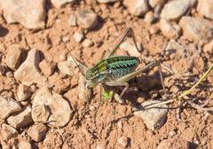 Grasshopper orthopterous tettigoniidae Stock Photos
