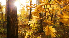 Beautiful autumn yellow leaves and sun Stock Footage