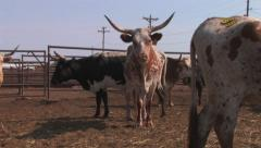 Longhorn cattle in stockyard 1 Stock Footage