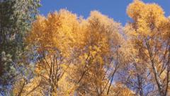 Yellow larch trees pan up Stock Footage