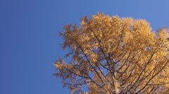 Yellow larch against blue sky Stock Footage