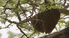 Close-up of swarming bees nest in a tree - stock footage