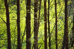 Row of Trees in Forest Stock Photos