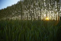 Row of Trees in Countryside - stock photo