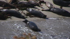 Seal pauses at edge of beach Stock Footage