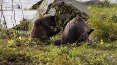 Grizzly Bears Eating Salmon at Chilkoot River - stock footage