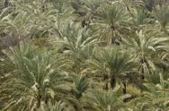 Stock Photo of Palm Trees In Abundance