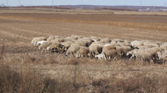 Herd of sheep in the autumn field Stock Footage