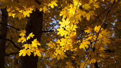 Beautiful autumn yellow leaves Stock Footage