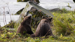 Grizzly Bears Eating Salmon at Chilkoot River Stock Footage