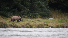 Grizzly Bear at Chilkoot River Stock Footage