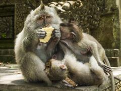 family of long-tailed macaques - stock photo