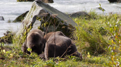 Grizzly Bears Eating Salmon and Leaving at Chilkoot River Stock Footage
