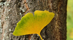 autumn leaves (close-up) Ginkgo biloba leaf - stock footage