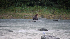 Grizzly Bear Fishing in Chilkoot River Stock Footage
