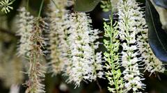 Macadamia flowers and bee Stock Footage