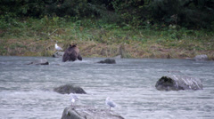 Grizzly Bear with Salmon at Chilkoot River Stock Footage