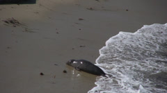 Seals wash up onto beach Stock Footage