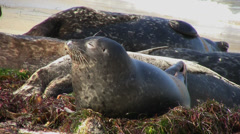 Seals snooze and stretch Stock Footage