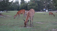 deer in Nara Park - stock footage