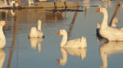 Heihe gooses 08 Stock Footage