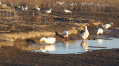 Heihe gooses 04 Stock Footage