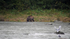 Grizzly Bear Eating Salmon at Chilkoot River Stock Footage
