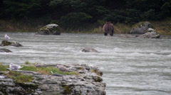 Grizzly Bear Walks in Chilkoot River Stock Footage