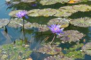 Stock Photo of lily pads with flowers